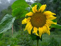 Blooming sunflower on green background. Isolated focus. Close-up royalty free stock photo