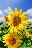 Blooming sunflower heads in cultivated crop field Royalty Free Stock Photo