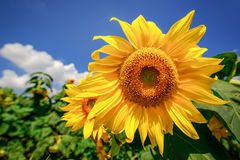 Blooming sunflower heads in cultivated crop field Royalty Free Stock Photography