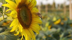 Blooming sunflower and a hummingbird