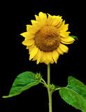 Blooming sunflower isolated on a black background Stock Images