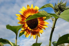Blooming sunflower. Stock Image