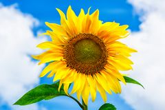 Healthy eating concept with sunflower over blue sky Royalty Free Stock Images
