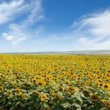 Blooming sunflower plantation Stock Photos