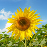 Blooming sunflower plantation Stock Photography