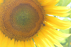 Blooming sunflower Royalty Free Stock Images