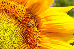 Blooming sunflower and pollinating him honey bee. Close-up Royalty Free Stock Photo