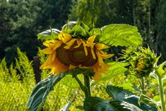 Blooming sunflower in the rays of the summer sun royalty free stock photo
