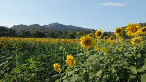 Blooming sunflower field in the valley Royalty Free Stock Image