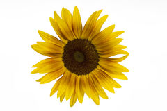 Blooming sunflower on white Royalty Free Stock Photography