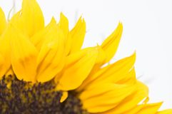 Blooming sunflower on white background Royalty Free Stock Images