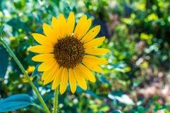 Blooming sunflower Stock Photo