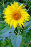 Blooming sunflower. Blooming yellow sunflower on a green background Royalty Free Stock Photography