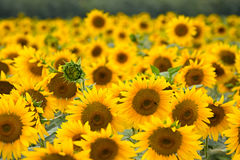 Blooming sunflowers Royalty Free Stock Image