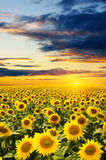 Blooming sunflowers Stock Images