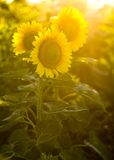 Blooming sunflowers. Three Sunflowers in the field on a sunny day Royalty Free Stock Photography