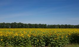 Blooming sunflowers. Under the blue sky Royalty Free Stock Image