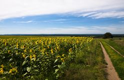 Blooming sunflowers. Under the blue sky Stock Photos