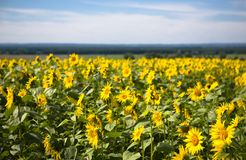 Blooming sunflowers. Under the blue sky Royalty Free Stock Photo