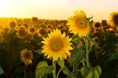 Blooming sunflowers Royalty Free Stock Photos