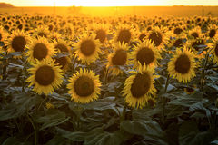 Blooming sunflowers on a background of golden evening light Stock Image