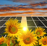 Blooming sunflowers in the background solar panels Stock Images