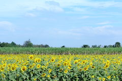 Blooming Sunflowers Farm With Sugarcane Farm Behind Royalty Free Stock Photos