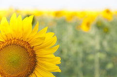 Blooming sunflowers Royalty Free Stock Photography
