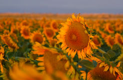 Blooming sunflowers in a field at sunrise with selective focus. A field of sunflowers catches the light of the morning near Denver International Airport at Royalty Free Stock Photo
