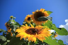 Blooming sunflowers in the garden in the village Abbenbroek. Bumbleebee on the looming sunflower in the garden in the village Abbenbroek in the beautiful summer Royalty Free Stock Image