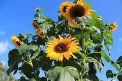 Blooming sunflowers in the garden in the village Abbenbroek. Blooming sunflowers in the garden in the village Abbenbroek in the beautiful summer Stock Images