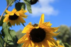 Blooming sunflowers in the garden in the village Abbenbroek. Bumblebbe on the blooming sunflower in the garden in the village Abbenbroek in the beautiful summer Royalty Free Stock Image