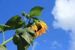 Blooming sunflowers in the garden in the village Abbenbroek. Blooming sunflowers in the garden in the village Abbenbroek in the beautiful summer Royalty Free Stock Photos