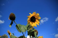 Blooming sunflowers in the garden in the village Abbenbroek. Blooming sunflowers in the garden in the village Abbenbroek in the beautiful summer Royalty Free Stock Photography