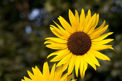 Blooming Sunflowers With Greenery Background. Beautiful sunflowers blooming in the summer sun against a lush leafy background Stock Photos