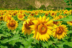 The blooming sunflowers Stock Image