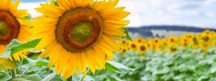 Blooming sunflowers and pollinating them honey bees. Against the blue sky background stock photography