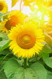 Blooming sunflowers Stock Photos