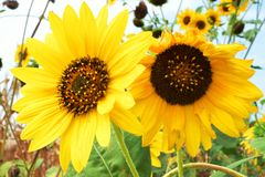 Blooming sunflowers in September royalty free stock photo