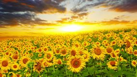 Blooming sunflowers and sky