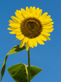 The blooming sunflowers . Royalty Free Stock Photo
