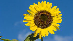 The blooming sunflowers . Royalty Free Stock Image