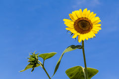 The blooming sunflowers . Stock Photos