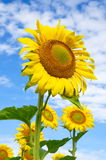 Blooming sunflowers on a summer day Stock Photography