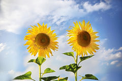 Blooming  sunflowers. Stock Images