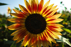 Blooming sunflowers. Blooming Sunflower petals close-up,Backlight Stock Images