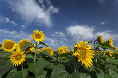 Blooming sunflowers under amazing Stock Photography