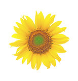 Blooming sunflowers on a white background. Blooming sunflower closeup on white background. front view Royalty Free Stock Photos
