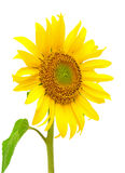 Blooming sunflowers on a white background. Blooming sunflower closeup isolated on white background Royalty Free Stock Photo