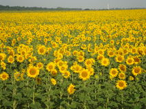 Blooming sunflowers.A wonderful time of the year. Summer in Ukraine. Blooming sunflowers Royalty Free Stock Image